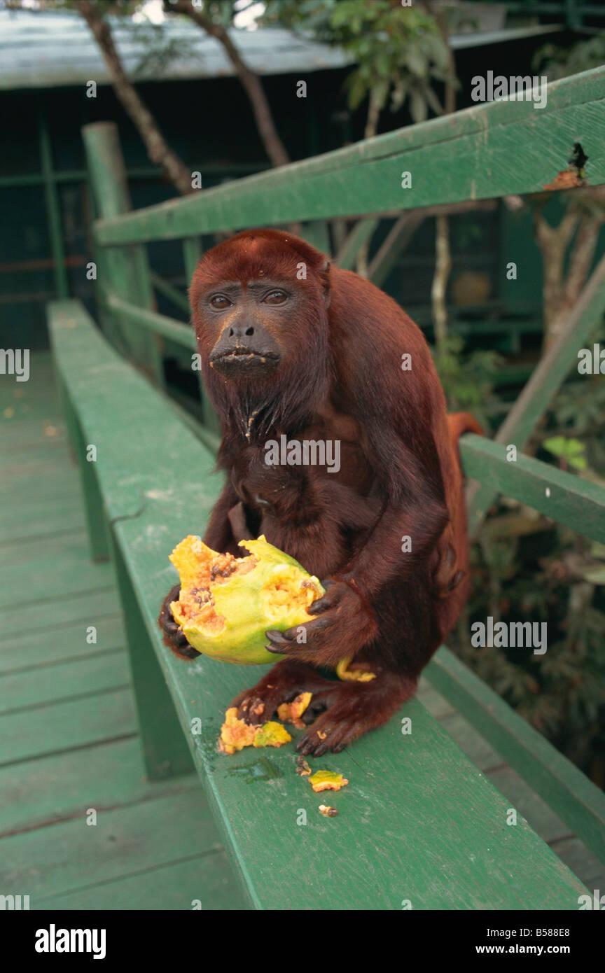 Singe femelle Amazonie Brésil Amérique du Sud Photo Stock
