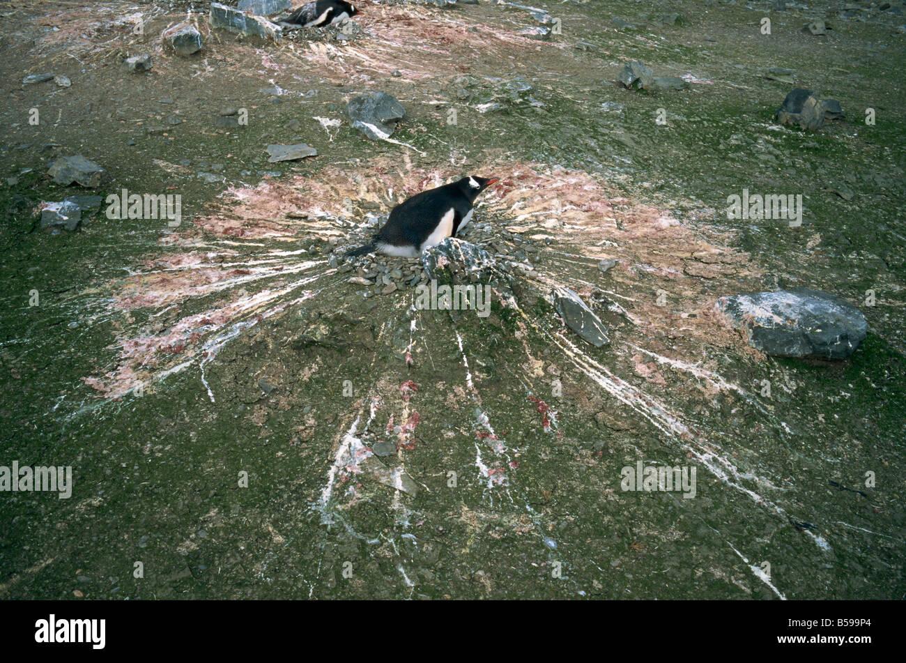 Gentoo pingouin pendant l'incubation de l'Antarctique les régions polaires Photo Stock