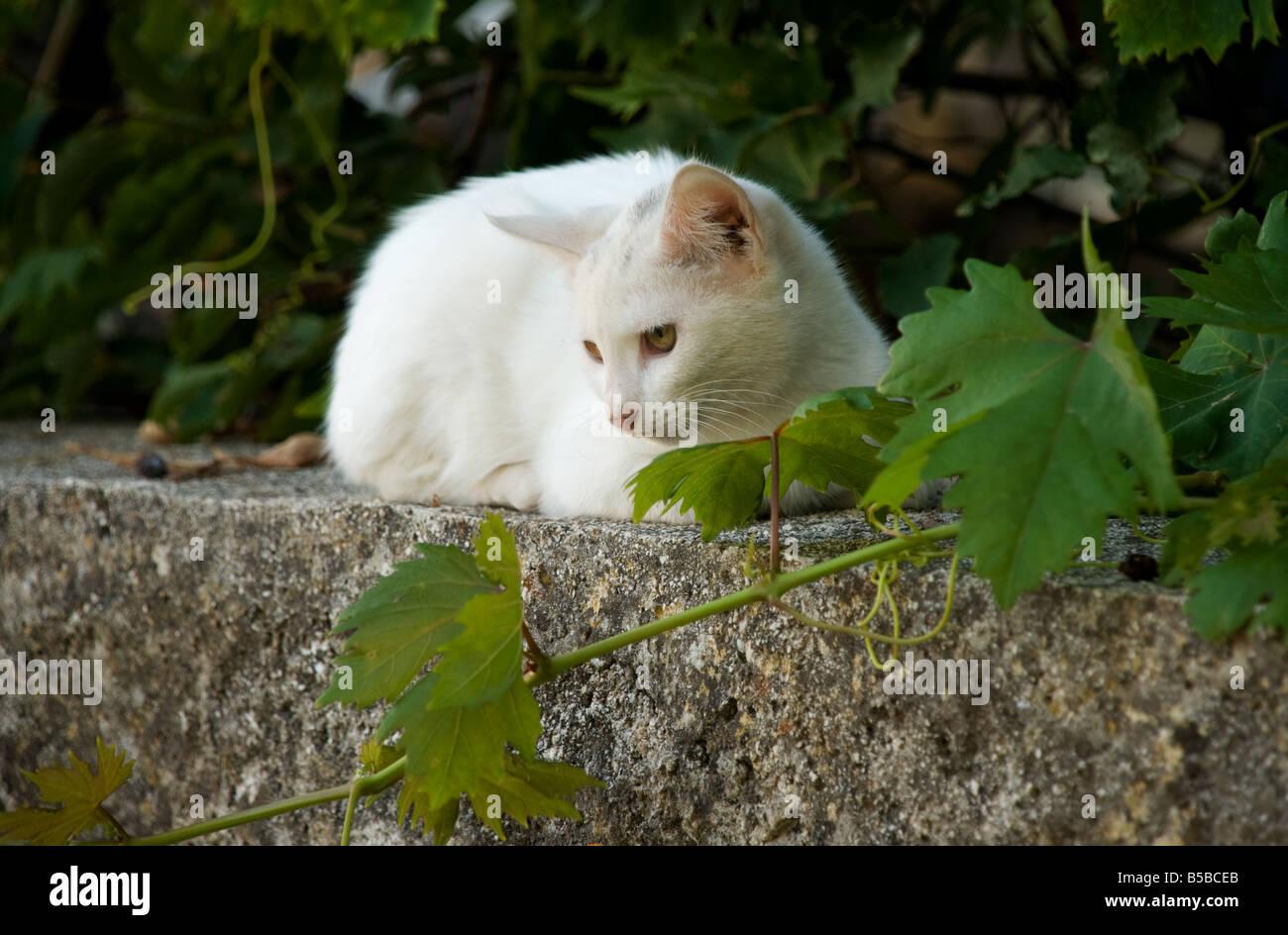 Feral cat grec sur un mur avec Grape Vine Banque D'Images