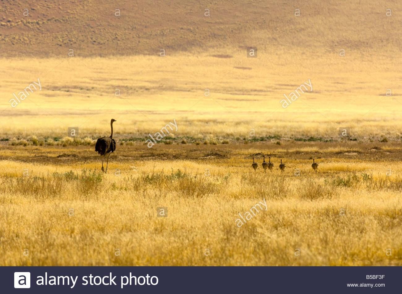 Mère et ses bébés autruche Sossusvlei dunes plus hautes dunes au monde désert du Namib Namibie Photo Stock