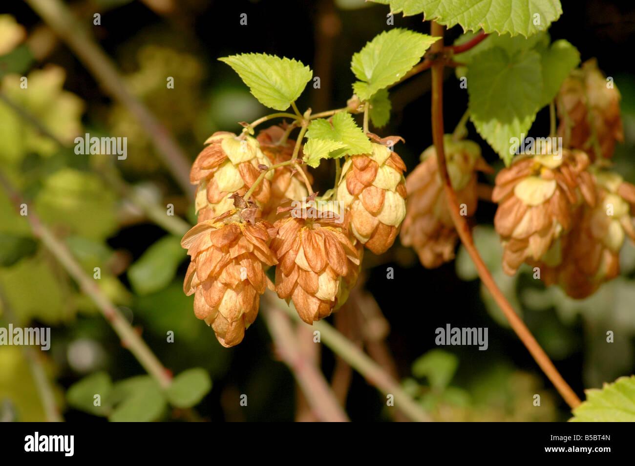 Sur le houblon Humulus lupulus - vigne Banque D'Images