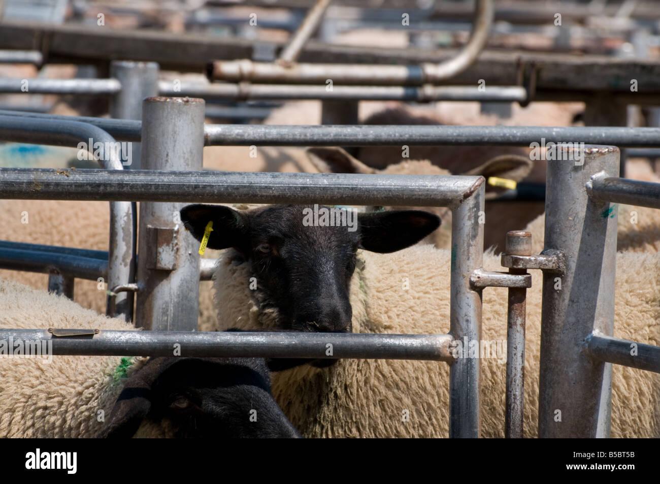 Marché de l'élevage de moutons - en attente de vente Banque D'Images