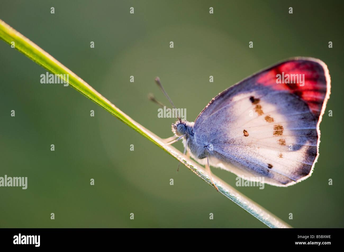 Colotis Danae. Astuce Crimson Butterfly se réchauffer sur une tige d'herbe dans la campagne indienne. L'Inde Photo Stock