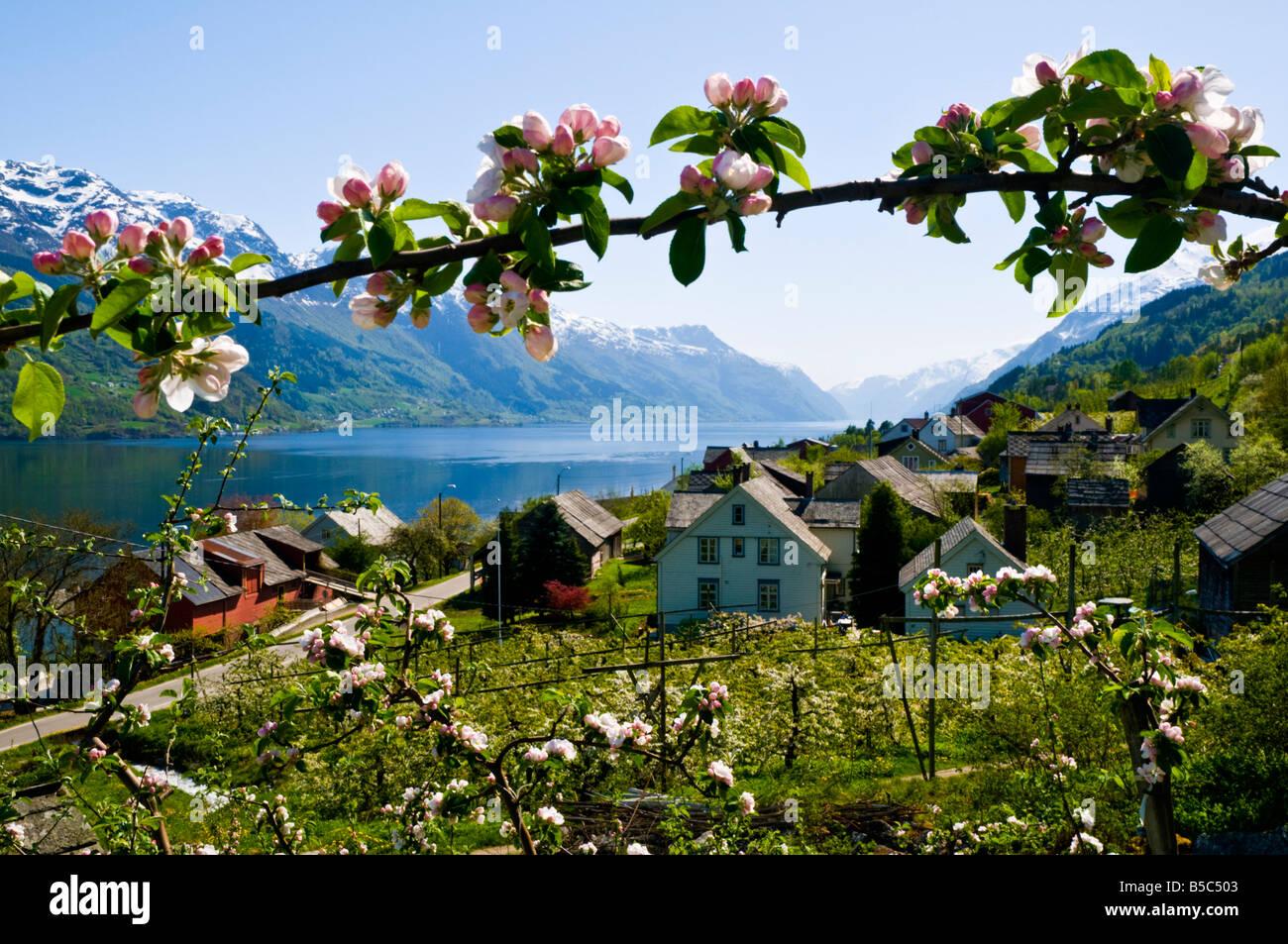 Blooming Apple à l'Ouest dans l'ouest de la Norvège Banque D'Images