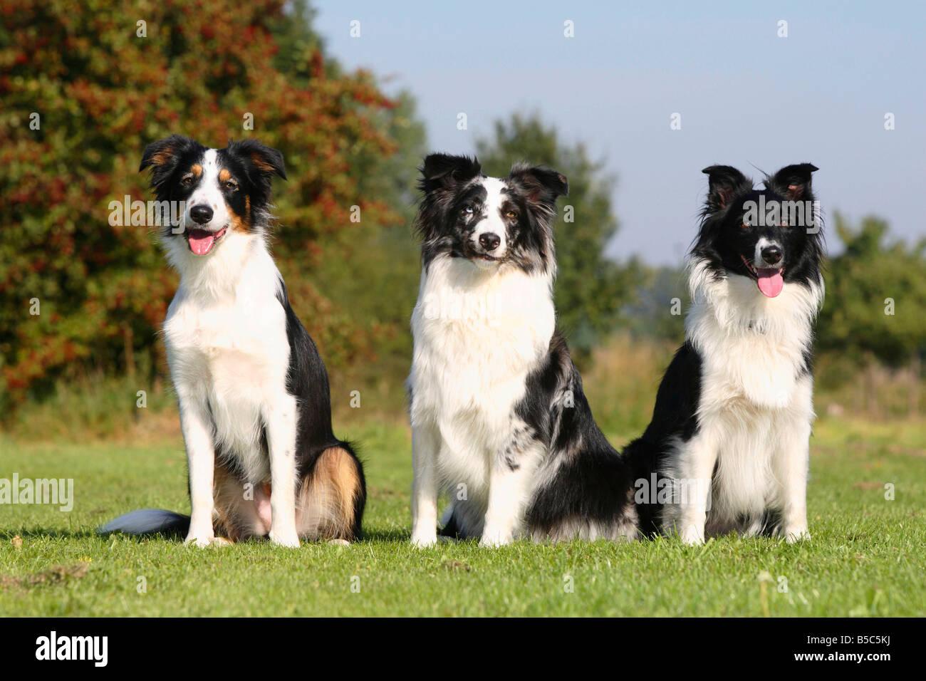 Dog Et Bergers Australiens Blue Merle Et Noir Et Blanc