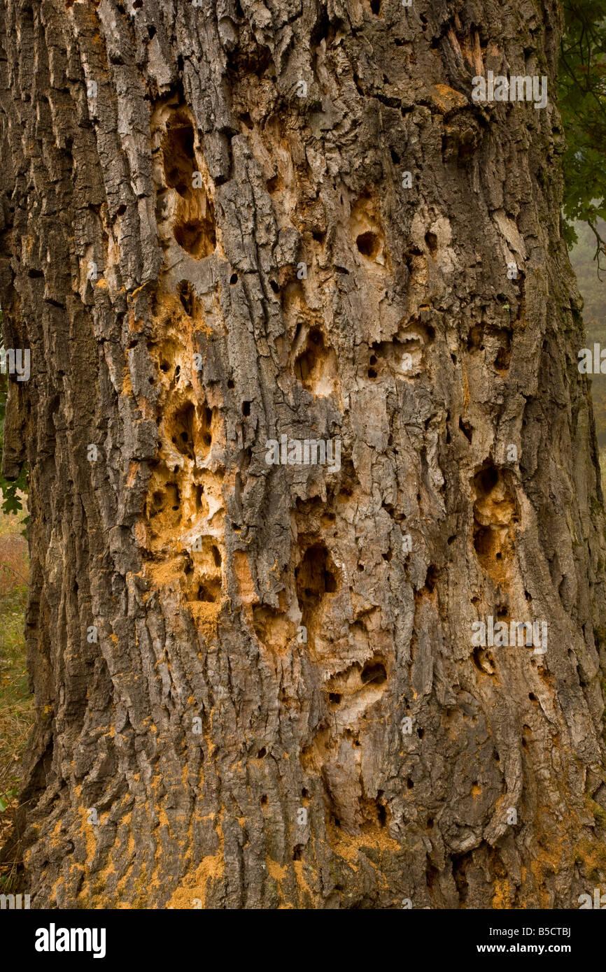 Chêne centenaire avec ponderosa et trous de pics en bois dans les pâturages près de la réserve Photo Stock