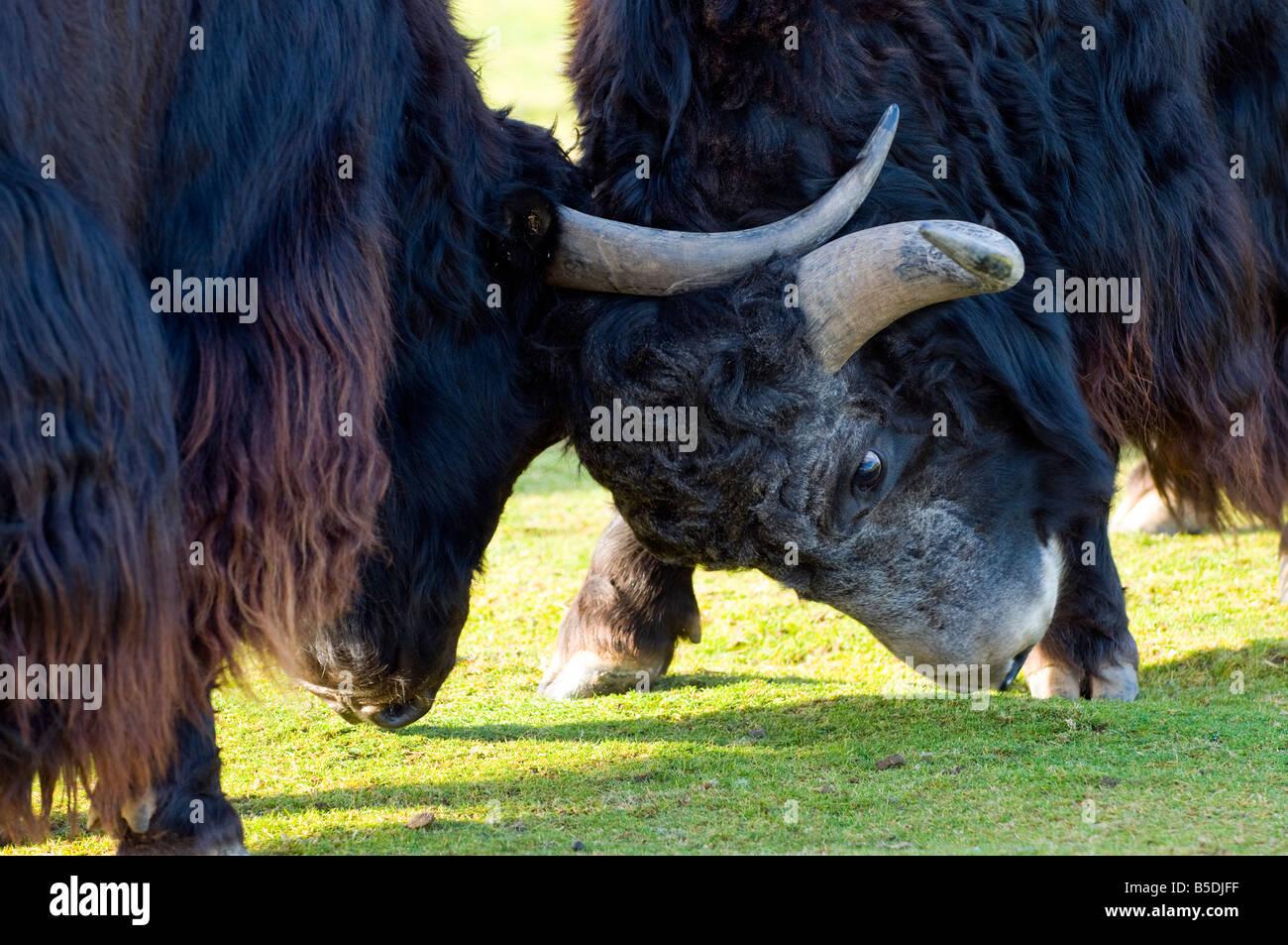 Yak mâle (Bos grunniens) lutte contre Photo Stock