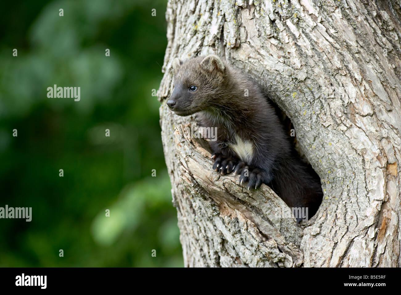 Bébé en captivité le pékan (Martes pennanti) dans un arbre, Grès, Minnesota, USA, Amérique Photo Stock