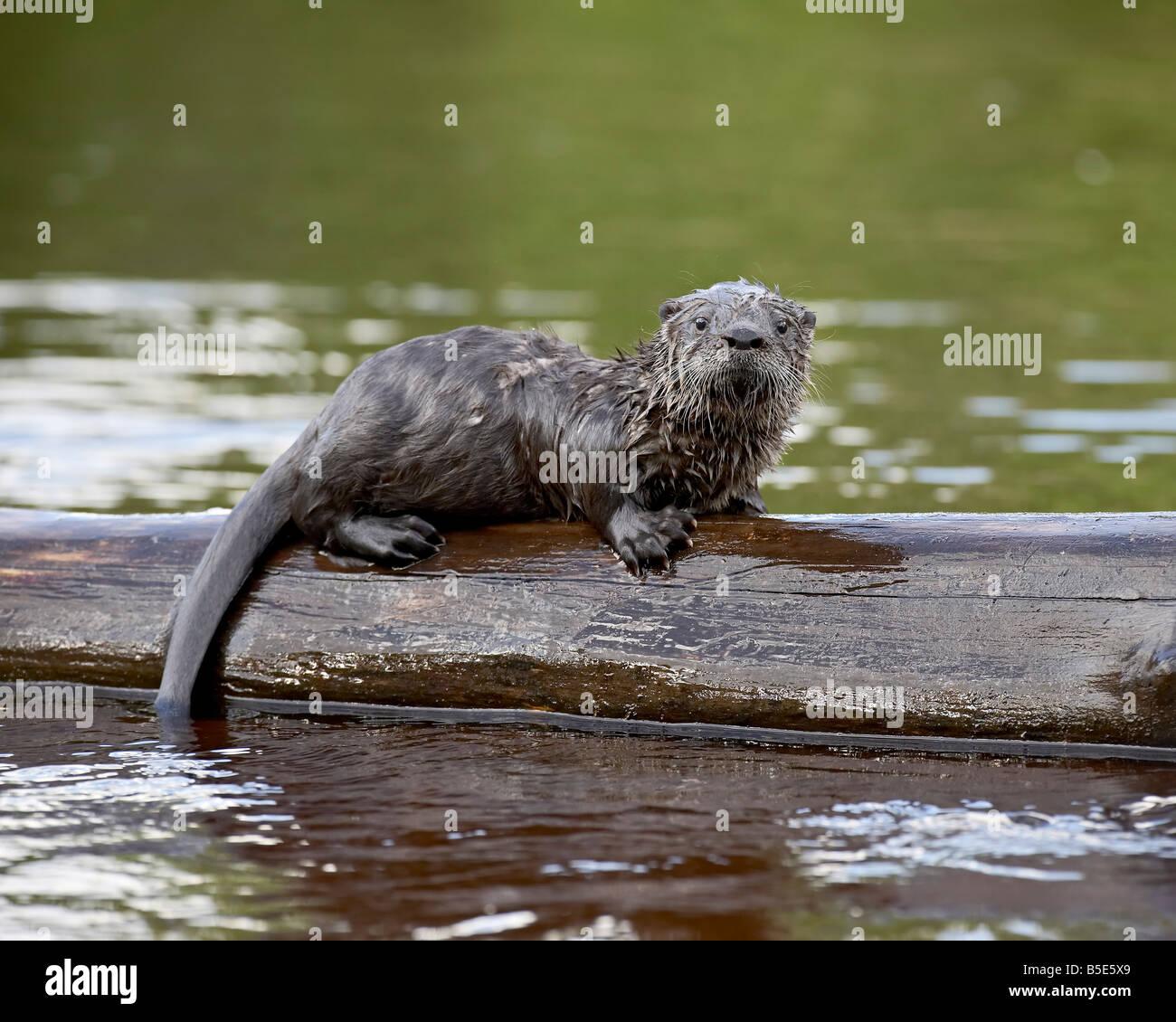 Bébé en captivité la loutre de rivière (Lutra canadensis), Grès, Minnesota, USA, Amérique Photo Stock