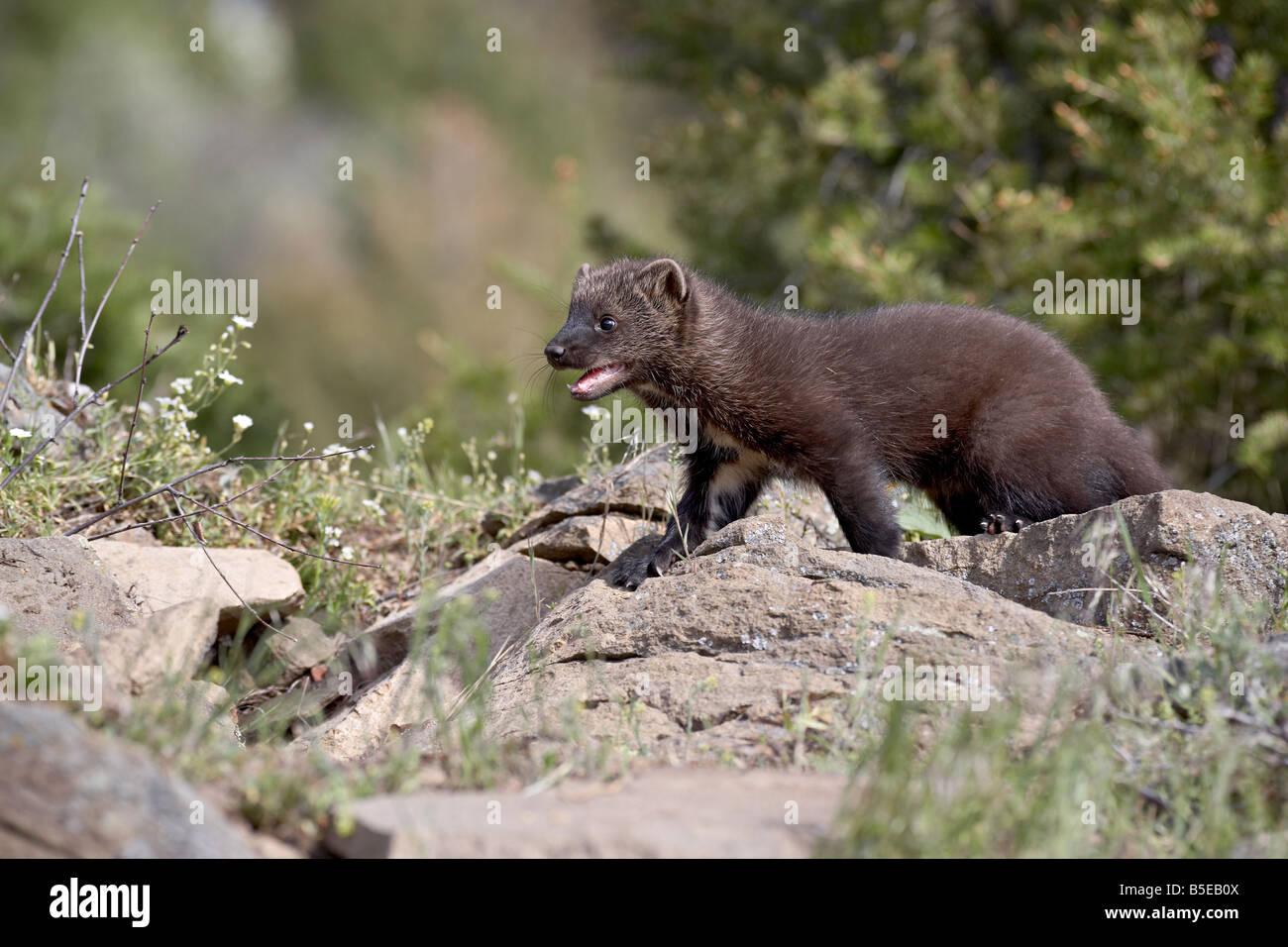 Bébé le pékan (Martes pennanti) en captivité, les animaux du Montana, Bozeman, Montana, USA, Photo Stock