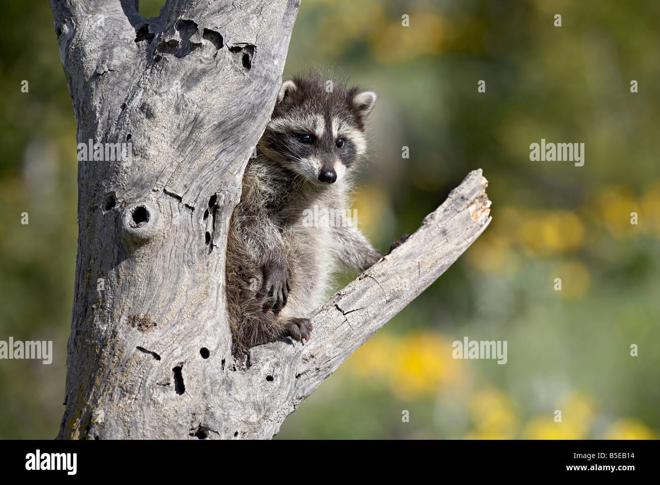 Bébé raton laveur (Procyon lotor) en captivité, les animaux du Montana, Bozeman, Montana, USA, Amérique Photo Stock