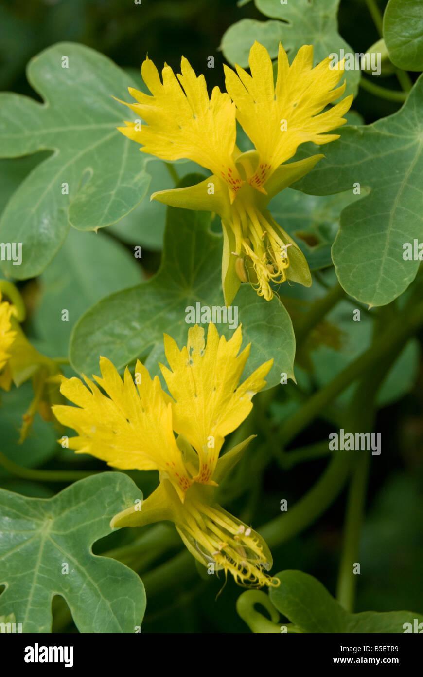 40 Graines Tropaeolum Peregrinum canariense grimpeur CANARY CREEPER-Capucine