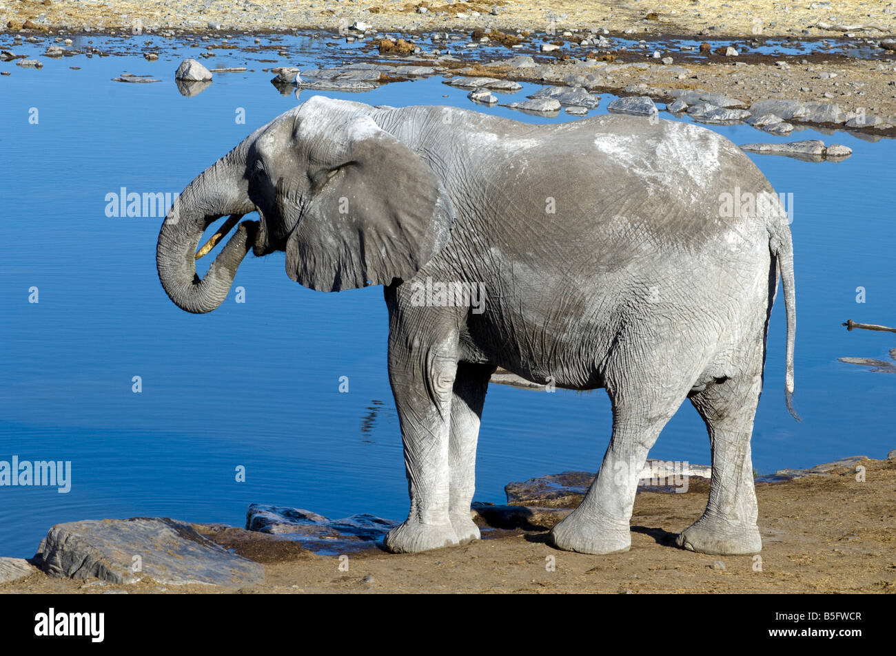 African elephant Loxodonta africana boire au point d'Halali Namibie Etosha National Park Photo Stock