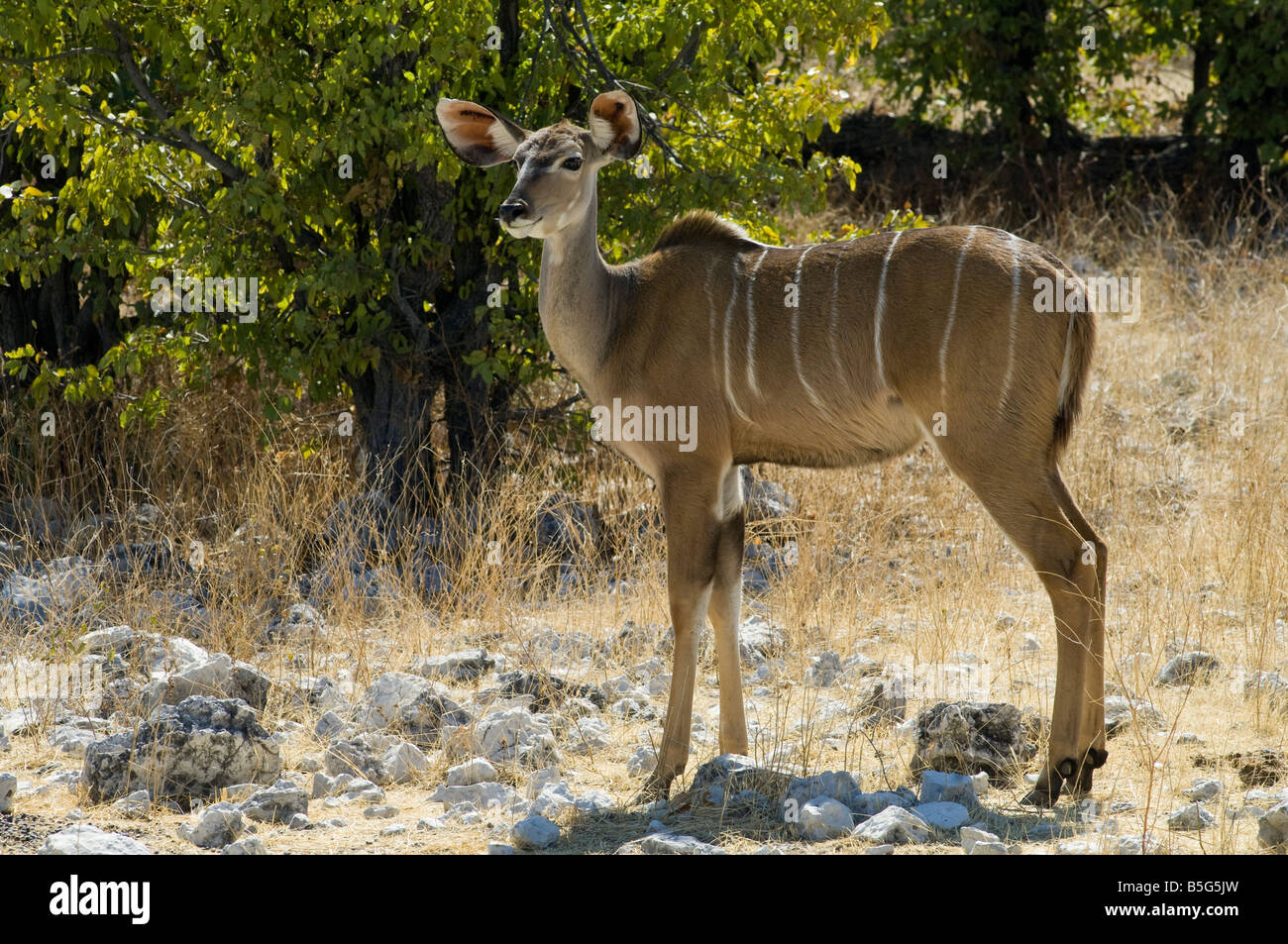 Grand Koudou (Tragelaphus strepsiceros) femmes dans le parc national d'Etosha en Namibie Photo Stock