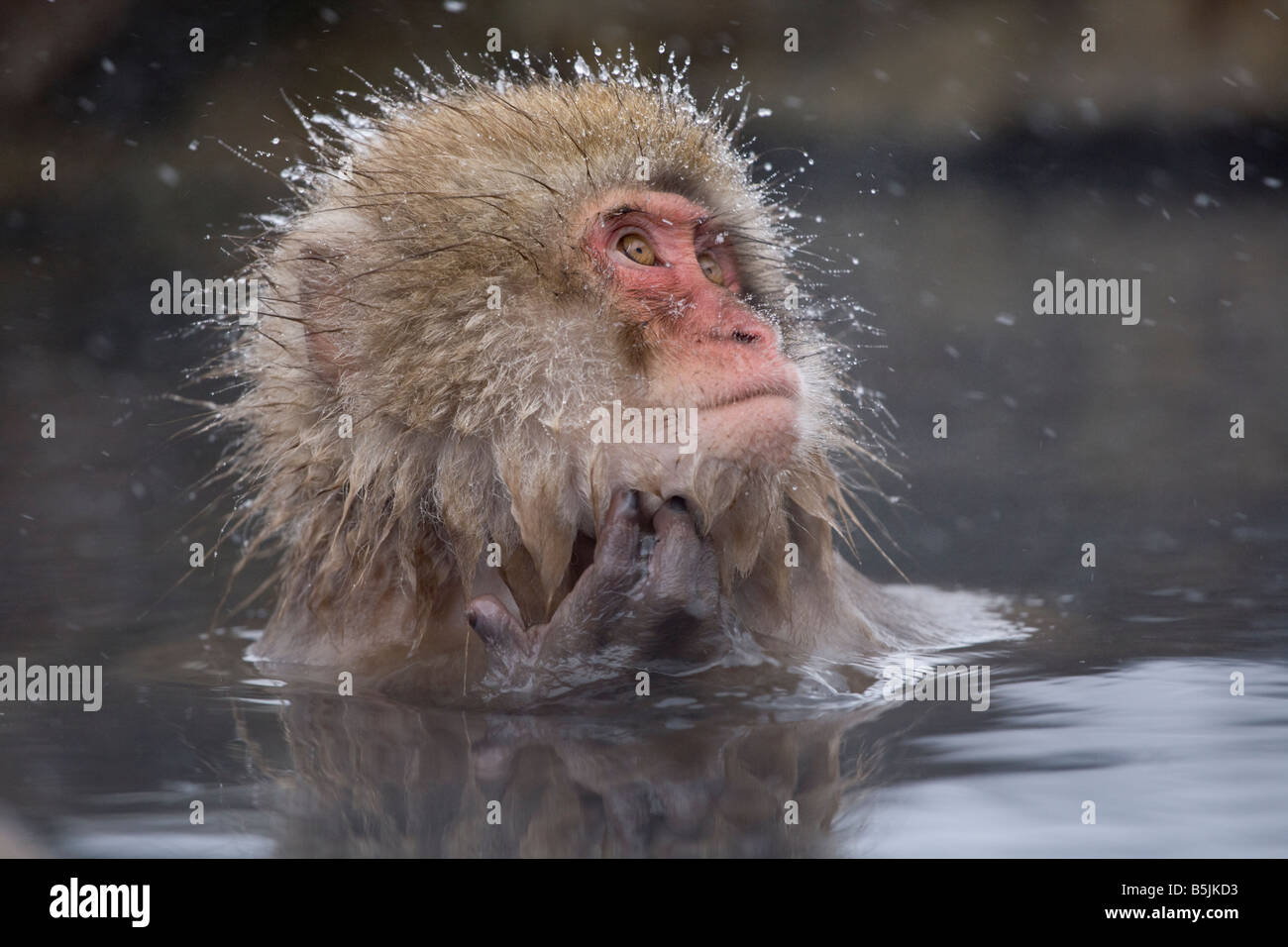 Jigokudani Monkey en neige Monkey Park National de Nagano au Japon Photo Stock