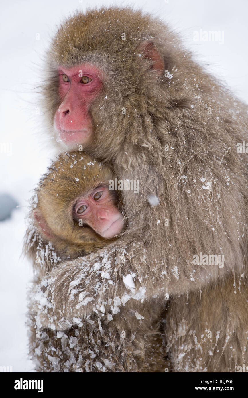 Jigokudani Monkey Park National, Nagano, Japon : Neige singes (Macaca fuscata) en hiver Photo Stock