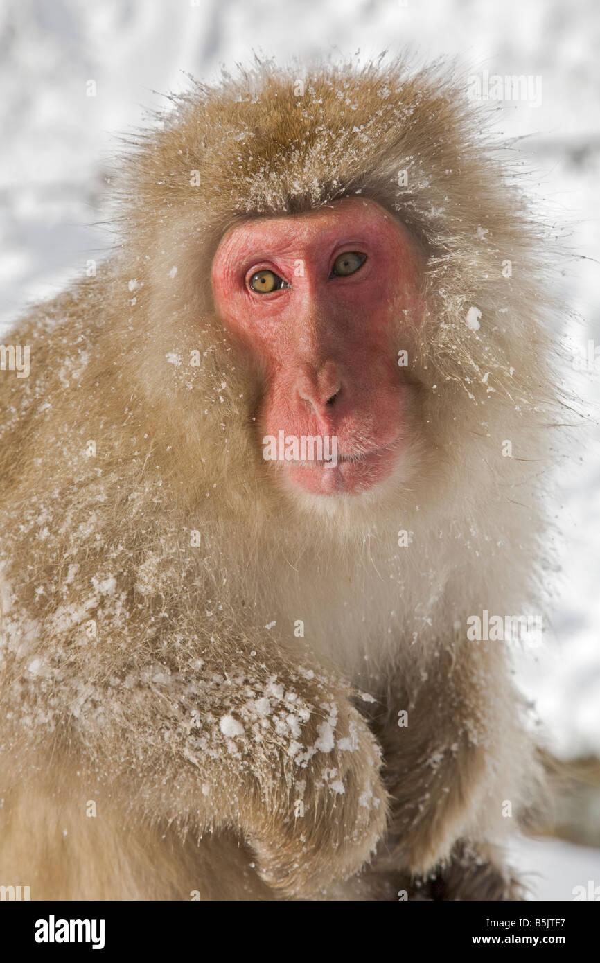 Jigokudani Monkey en neige Monkey Park National de Nagano au Japon Photo Stock