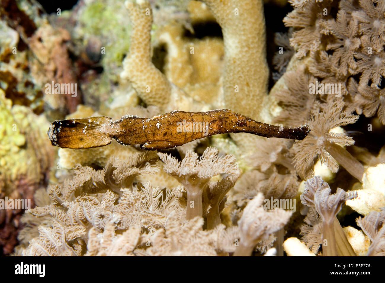 Syngnathe fantôme robustes, Solenostomus cyanopterus, nager parmi les coraux sous l'eau Photo Stock