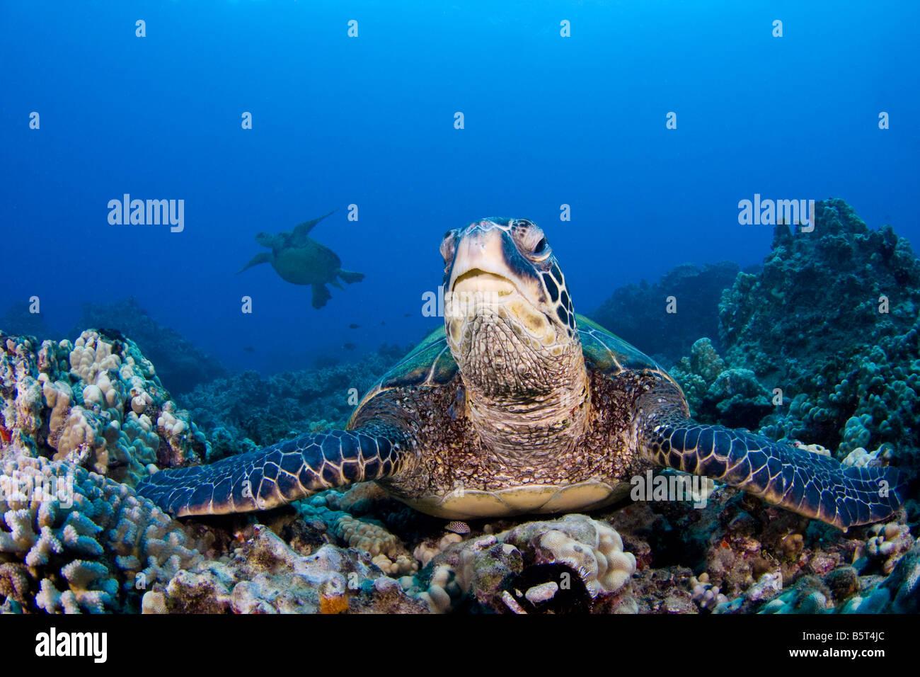 Les tortues de mer verte, Chelonia mydas, une espèce en voie de disparition, à Hawaï. Banque D'Images