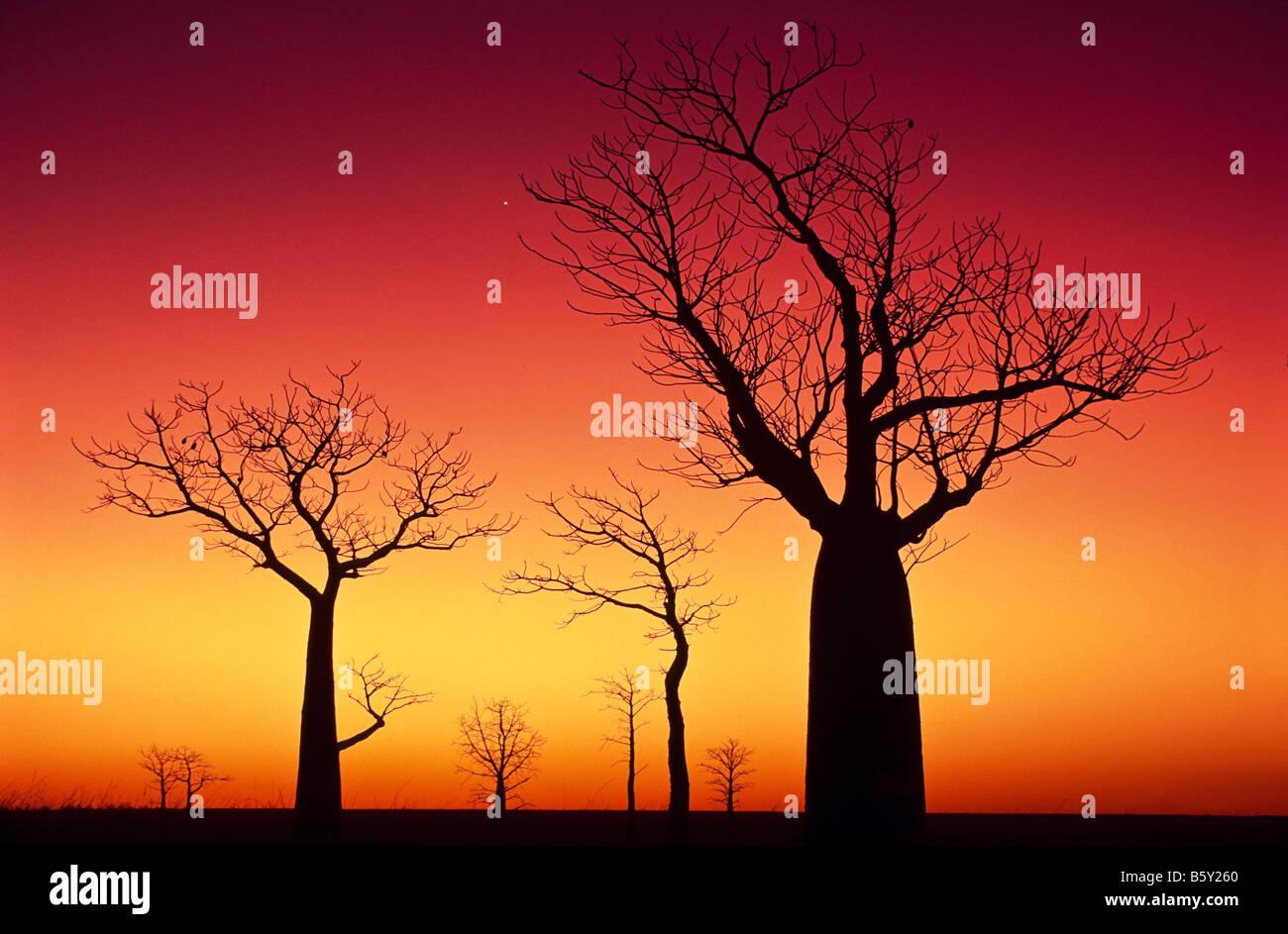 Boab arbres au coucher du soleil, l'arrière-pays australien Photo Stock