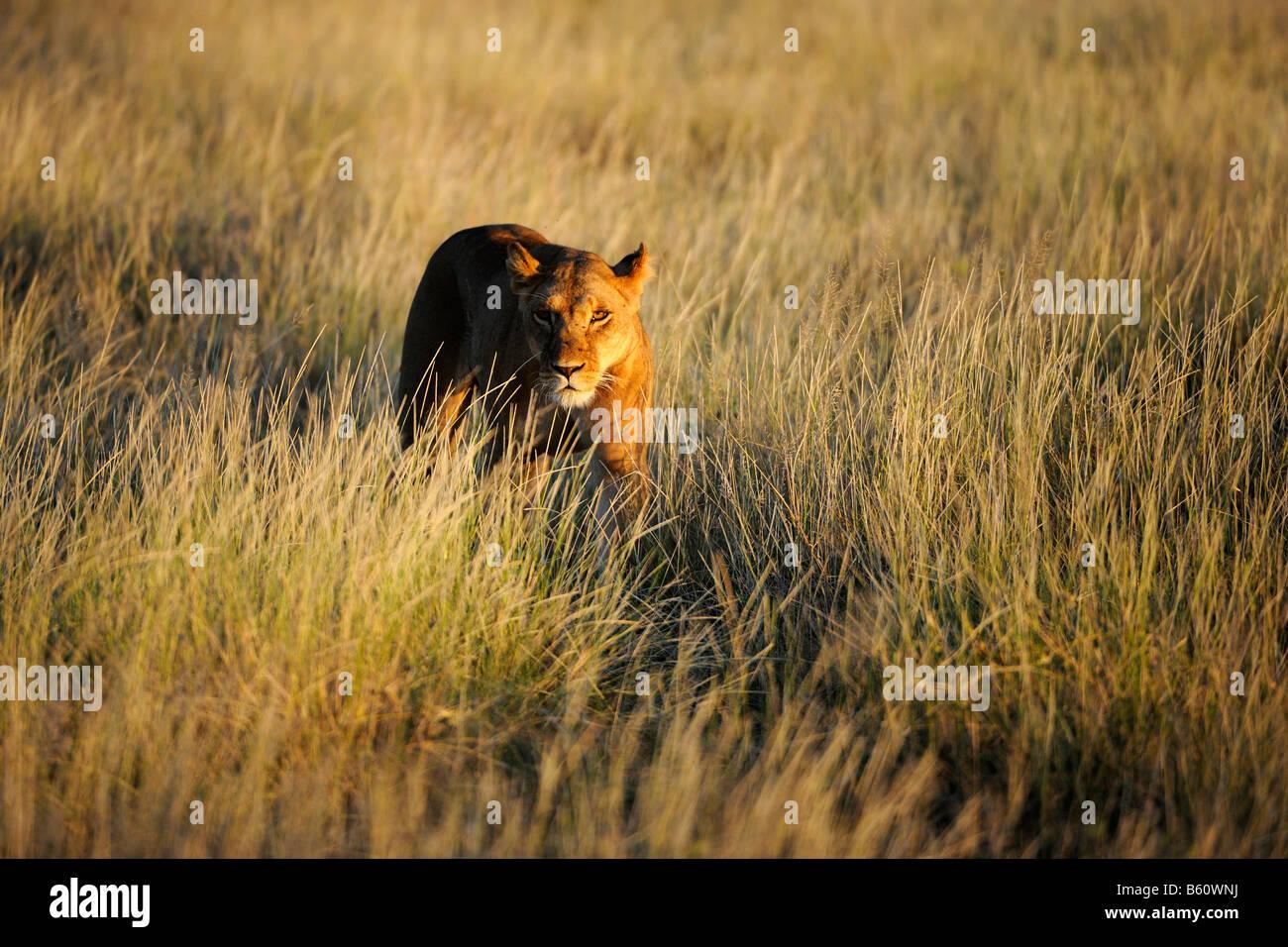Lioness (Panthera leo) dans la journée de la première lumière, Réserve nationale de Samburu, Photo Stock