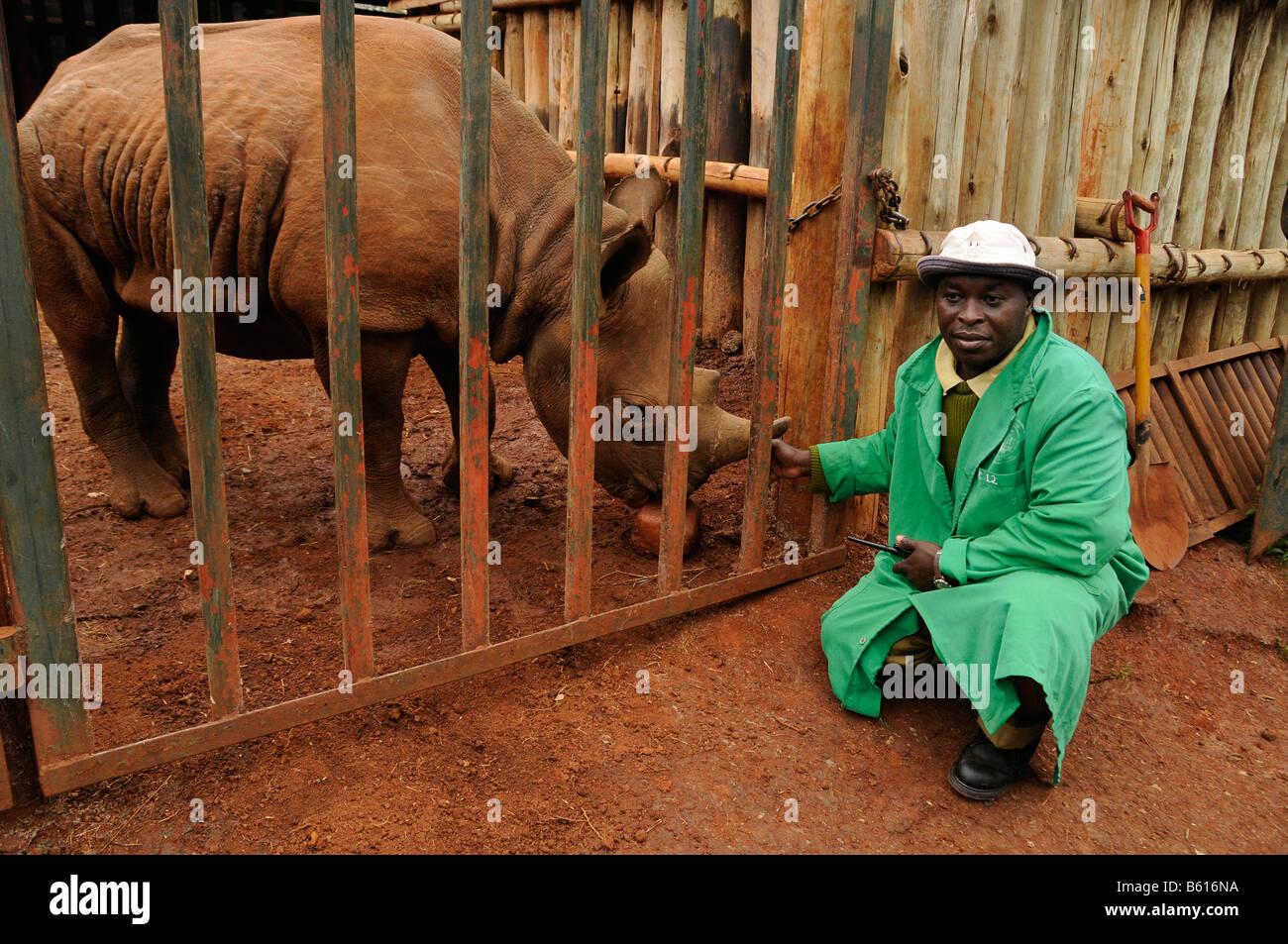 Le Rhinocéros noir (Diceros bicornis) dans une cage, un gardien en face, David Sheldrick Wildlife Trust dans le Parc National de Nairobi, Banque D'Images