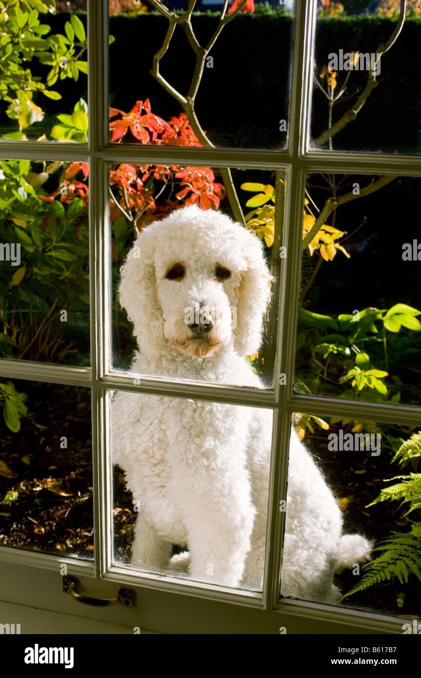 Un caniche standard ressemble à un salon de l'extérieur sur une journée ensoleillée d'automne Photo Stock