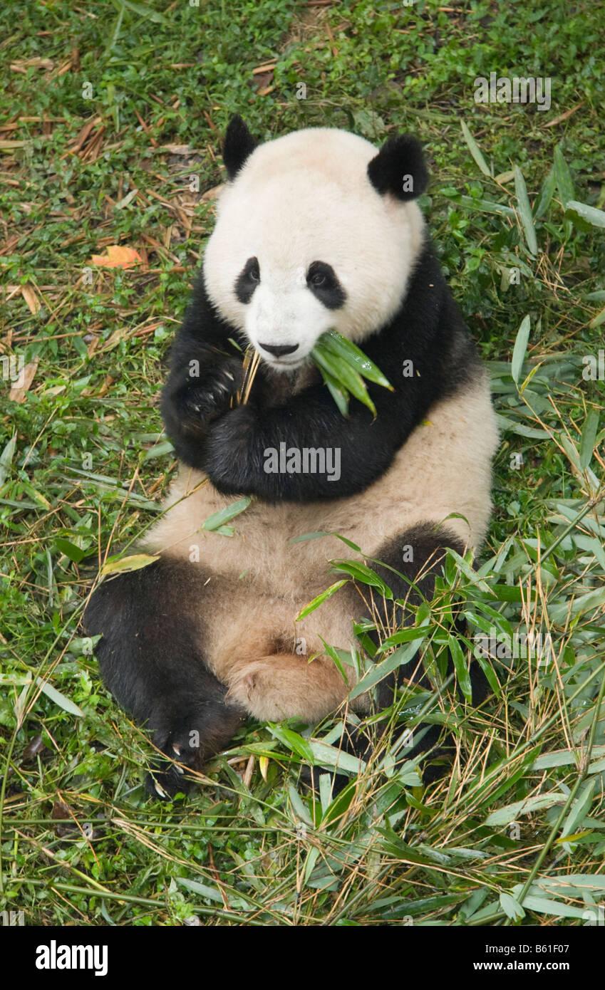 Panda géant au Centre de recherches de Chengdu en Chine Photo Stock
