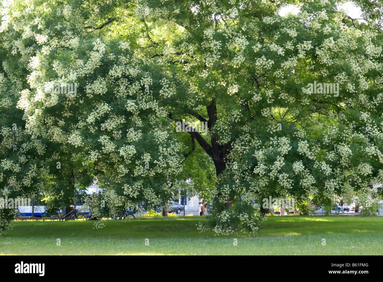 arbre pagode japonaise (styphnolobium japonicum syn. sophora