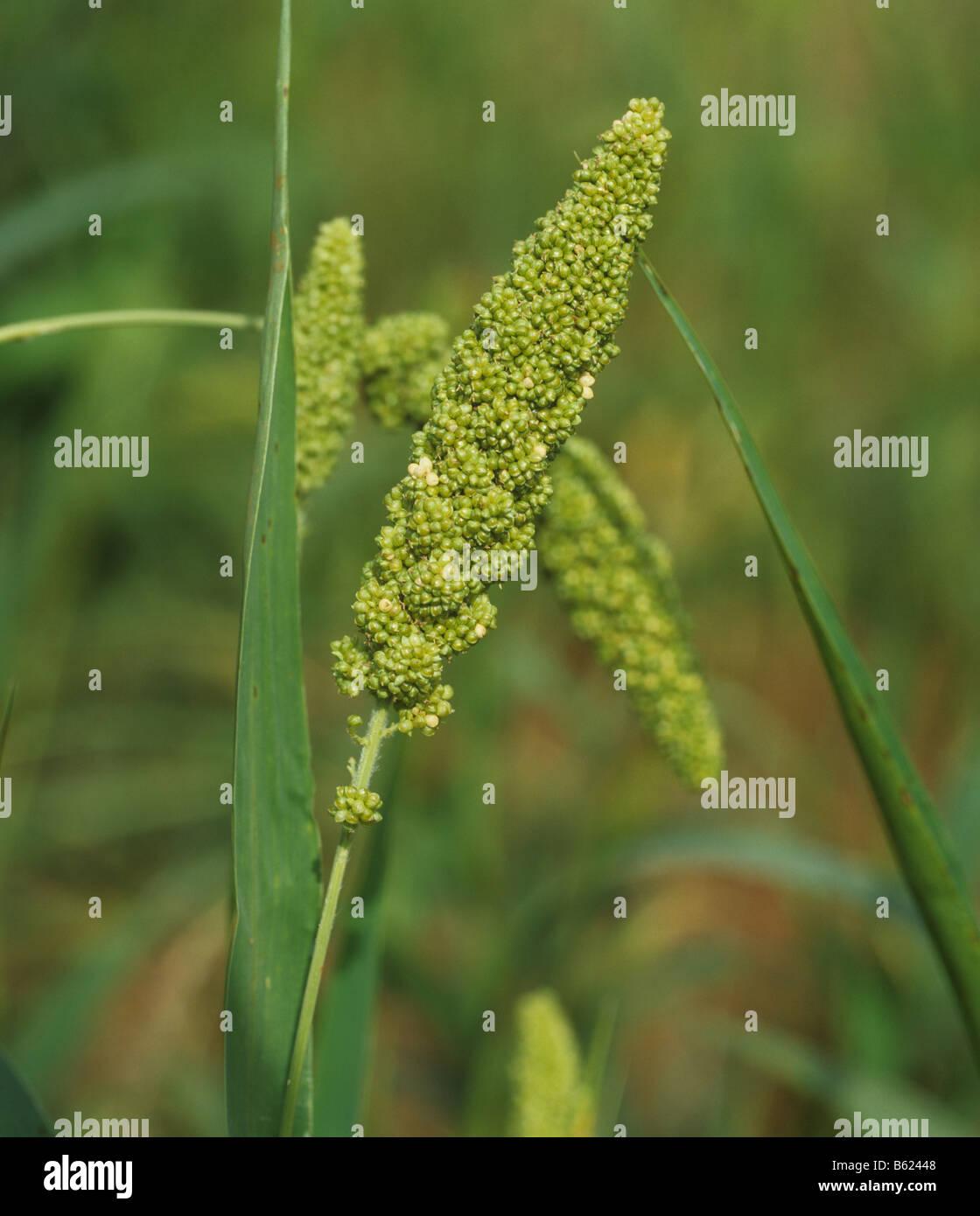 Le millet Foxtail Setaria italica oreille mature sans poils Thaïlande Photo Stock