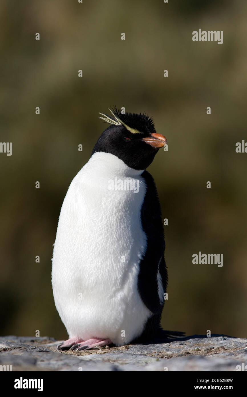 Rockhopper Penguin Eudyptes chrysocome chrysocome (plus sombre), Île, Îles Falkland Photo Stock