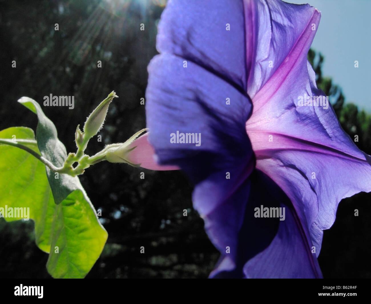 Une gloire du matin fleur (convolvulus, Ipomoea ), avec du soleil en fait un aspect translucide. Photo Stock