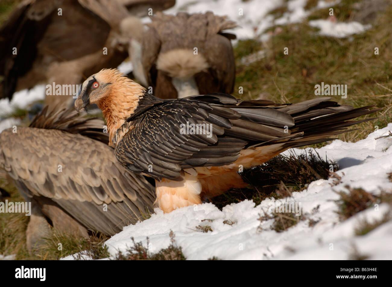 Gypaète gypaète ou lic), des profils dans la neige photographié en Pyrénées françaises Photo Stock
