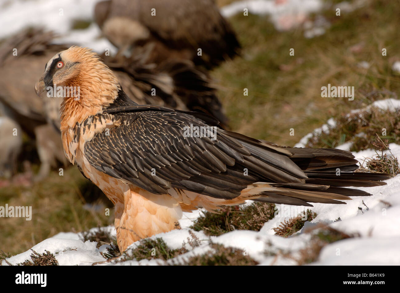 Gypaète gypaète ou lic), adulte photographié en Pyrénées françaises Photo Stock
