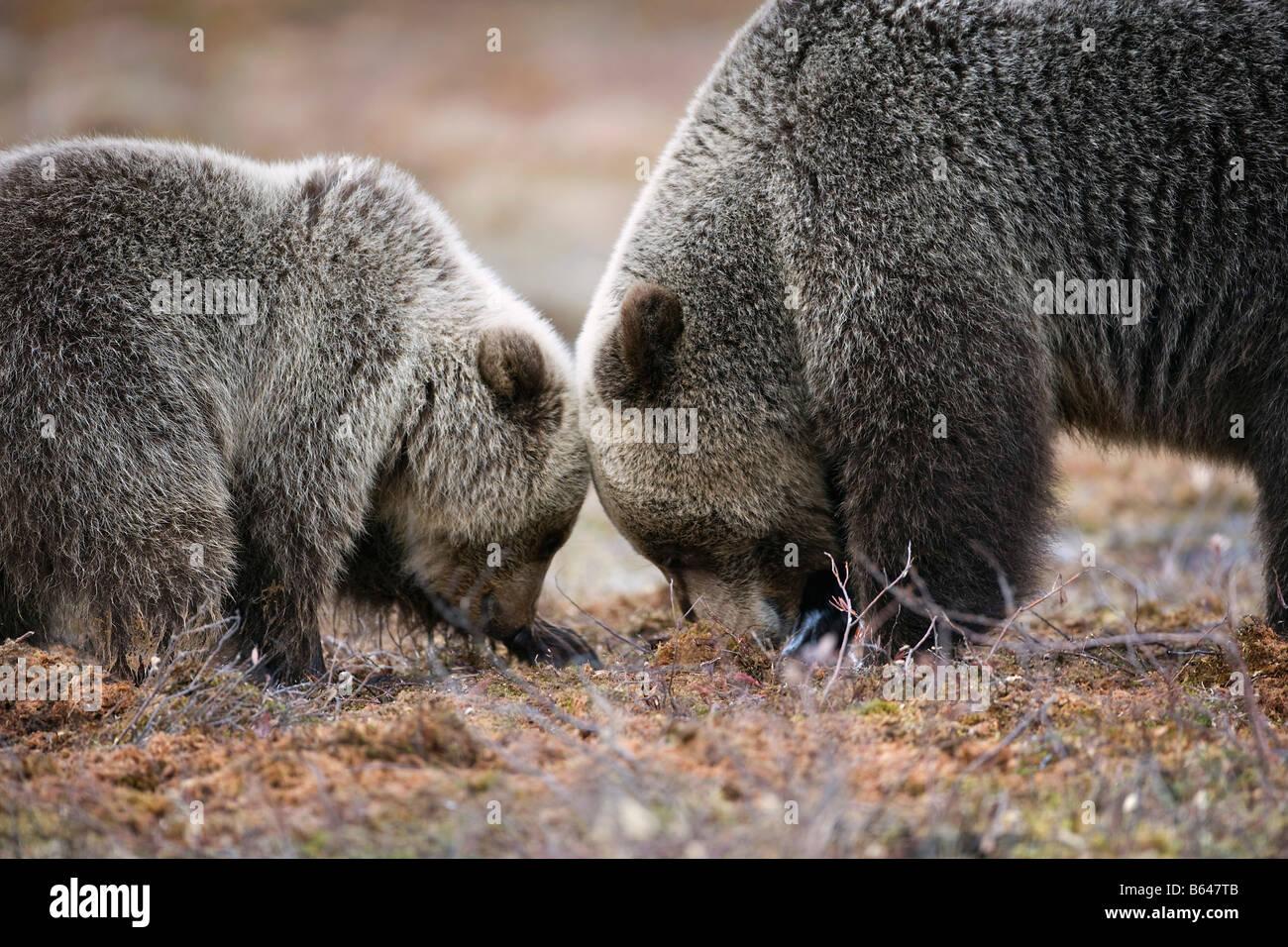 La Finlande, Ruhtinansalmi, près de Suomussalmi, l'ours brun. Ursus arctos. Mère et son petit. Photo Stock