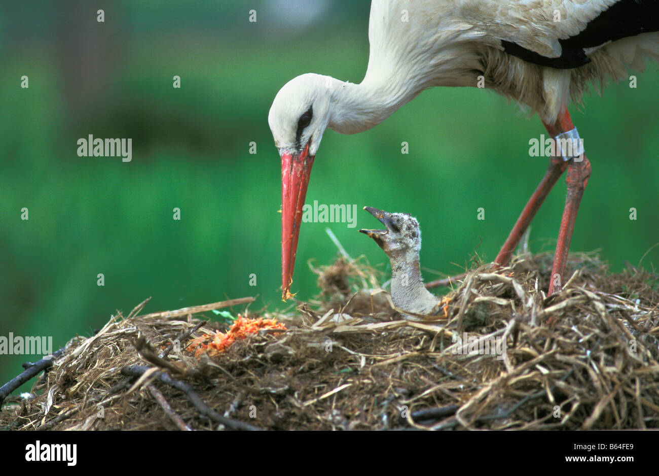 La Hollande, Pays-Bas, Groot Ammers. Stork et young le nid (Ciconia ciconia). Photo Stock