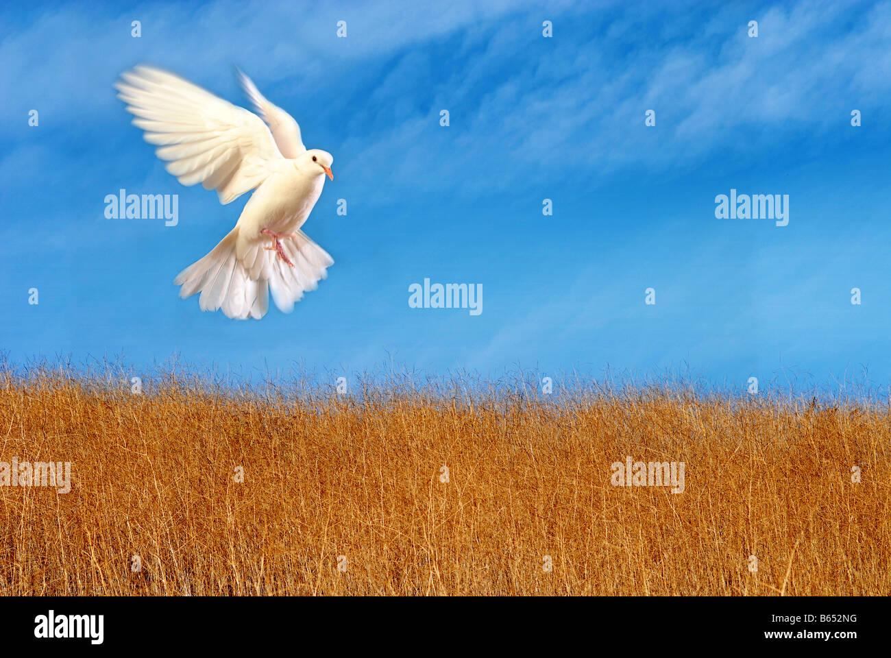 Colombe blanche volant Photo Stock