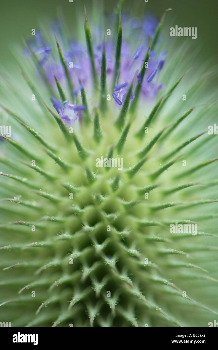 Thistle, extreme close-up Photo Stock