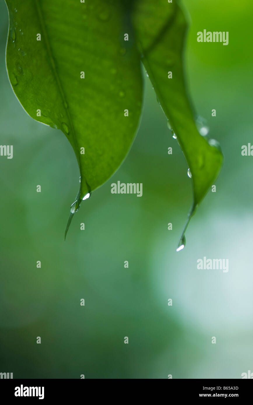 Gouttes de pluie sur les feuilles, close-up Banque D'Images