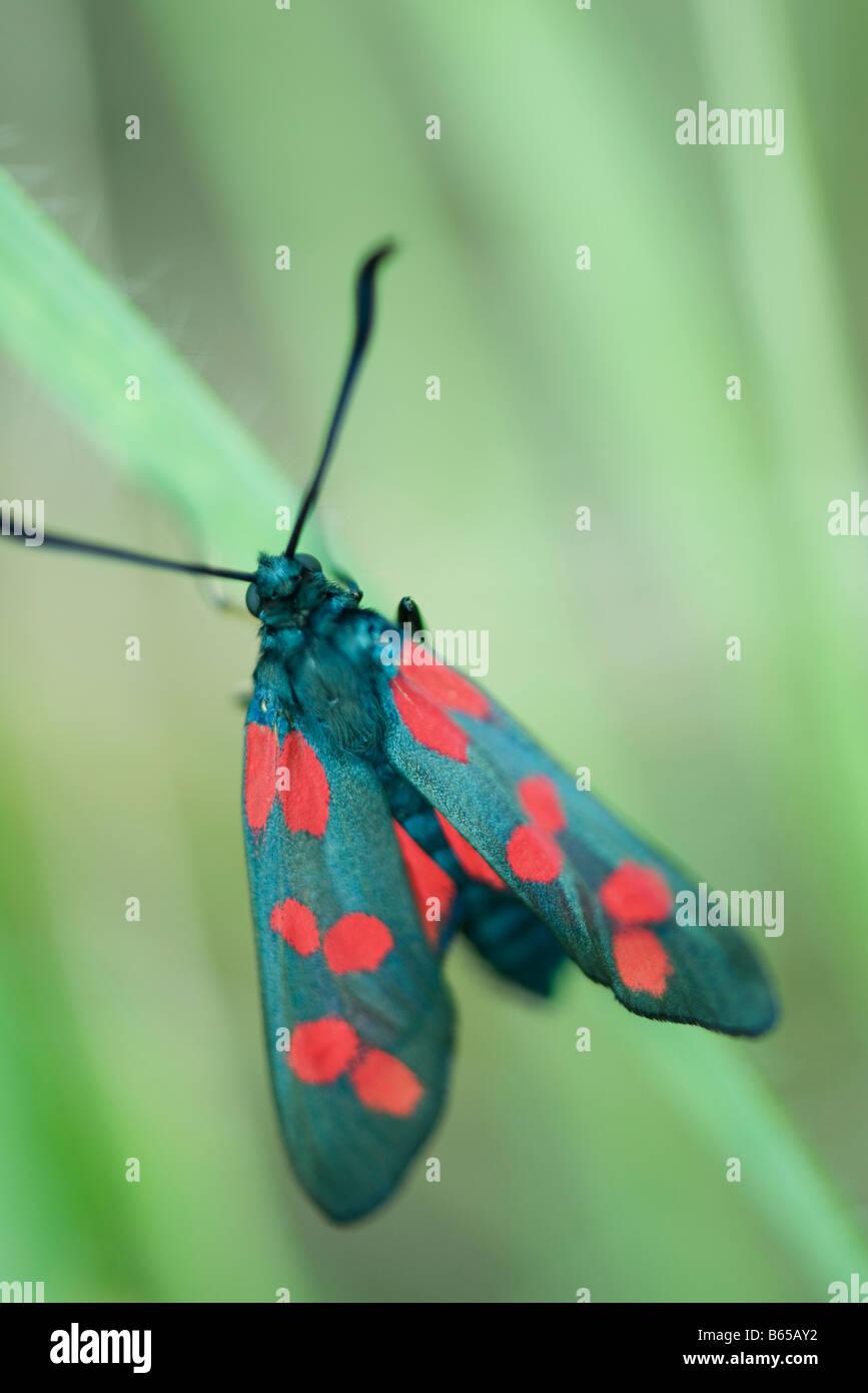 Six-spot burnet moth (zygaena filipendulae) perché sur brin d'herbe Banque D'Images