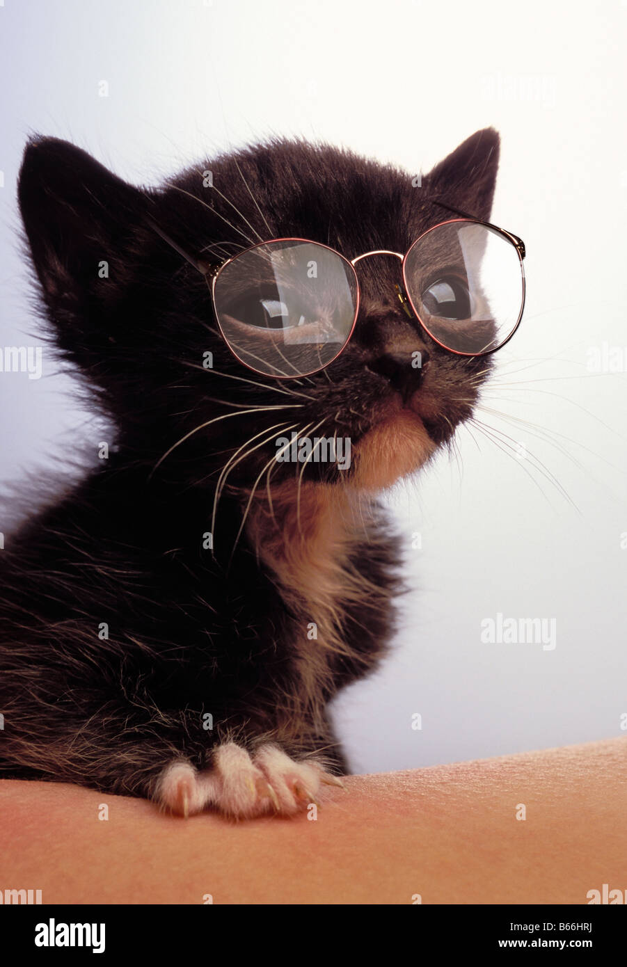 Kitten wearing eyeglasses Photo Stock