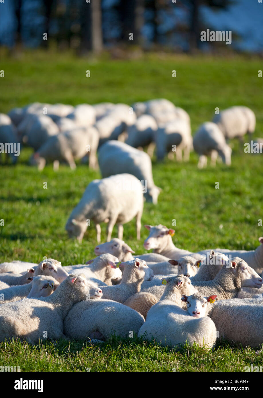 Moutons finlandais , Finlande Photo Stock