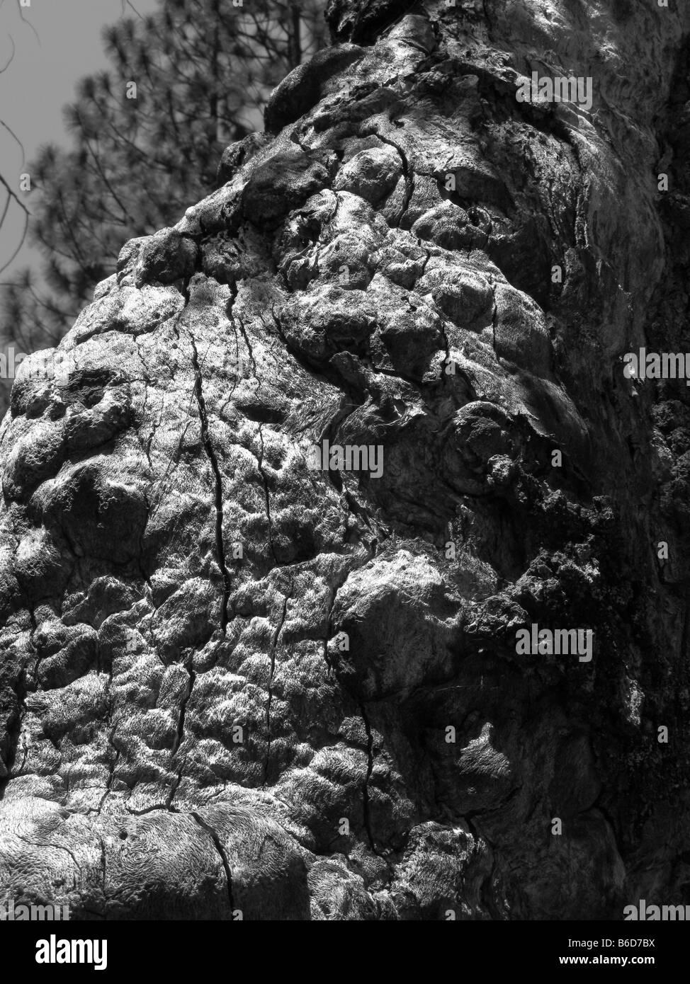 Vieil arbre dans la région de Yosemite National Park California USA Banque D'Images