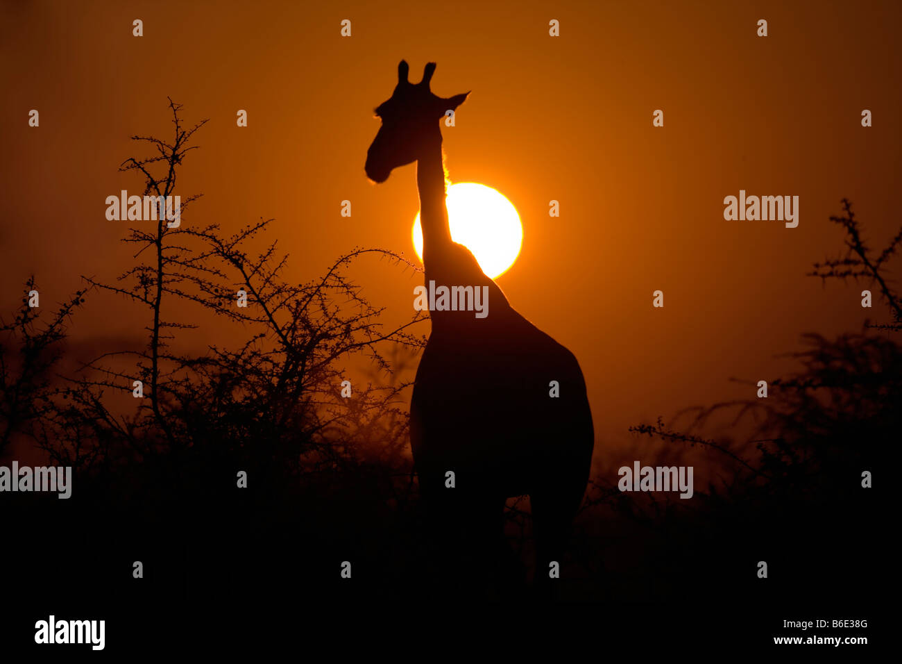 Girafe Silhouette dans Soleil Levant, Etosha National Park Photo Stock