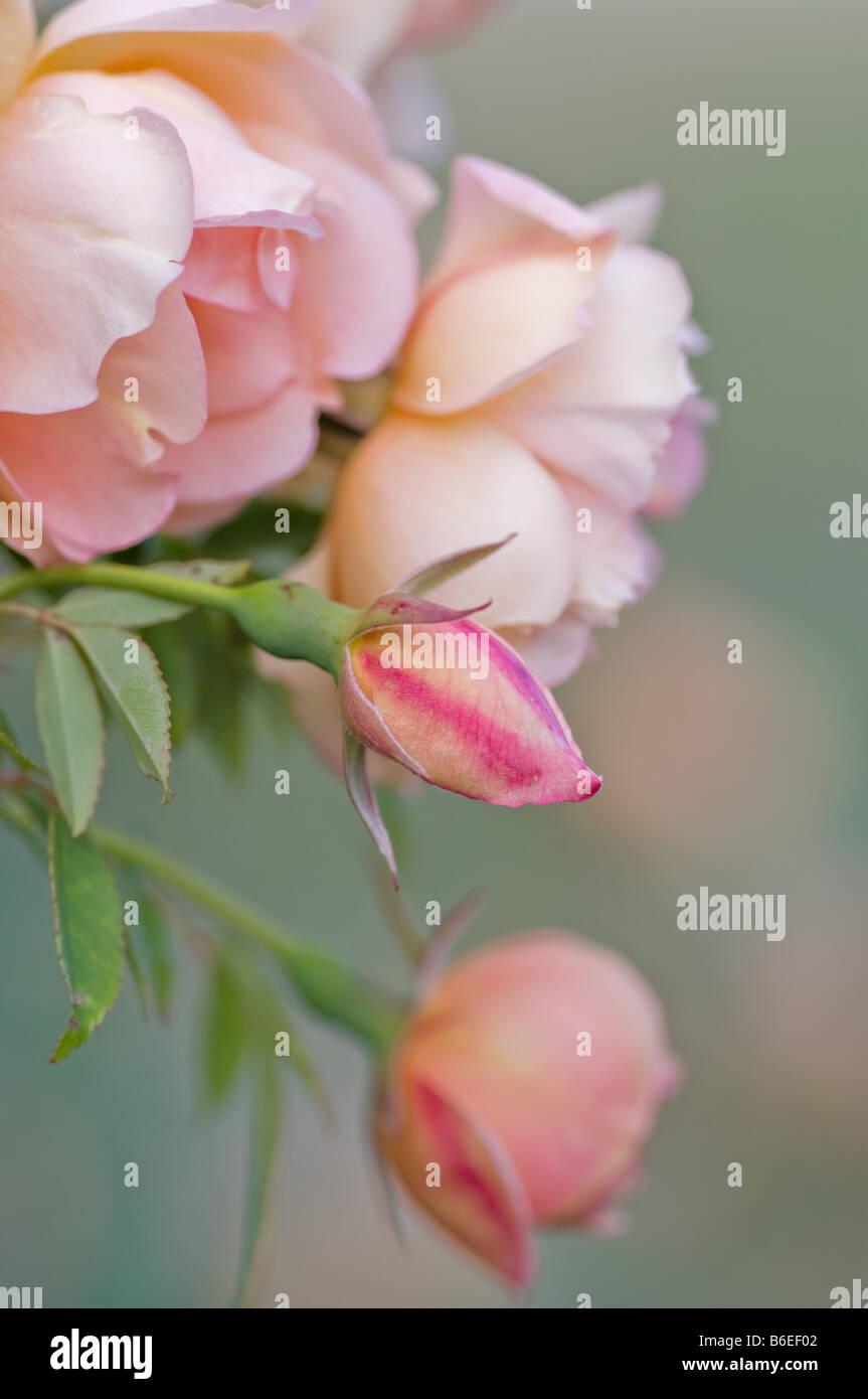 Excellente image de roses roses à divers stades Photo Stock