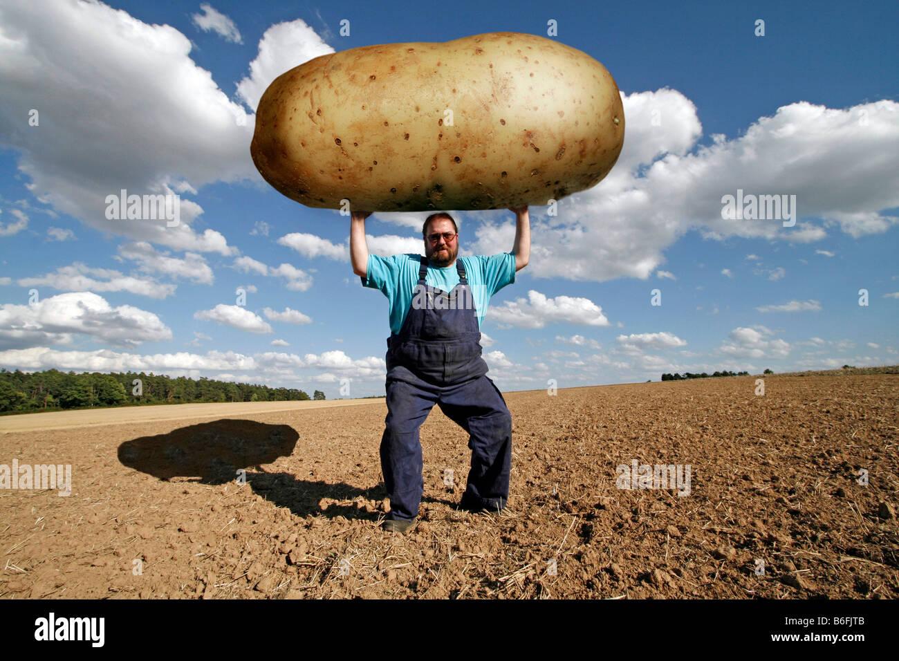 Farmer holding d'une très grande pomme de terre, les aliments génétiquement modifiés Photo Stock