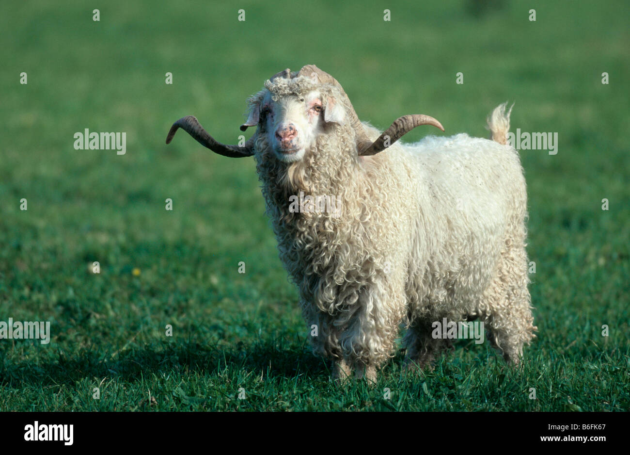 1dd40b95f8a0 Chèvre Angora ou Mohair Banque D Images, Photo Stock  21242655 - Alamy