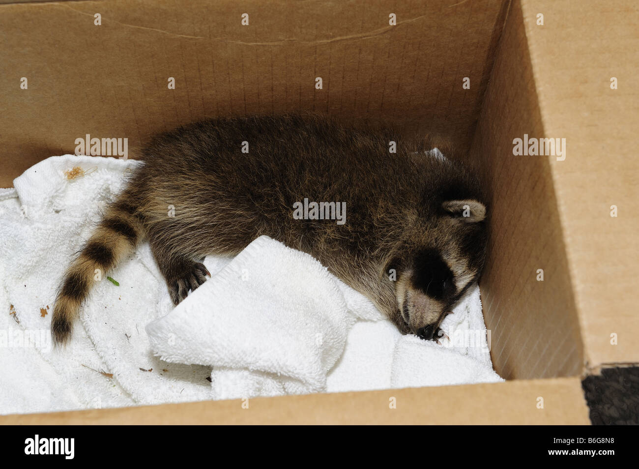 Bébé sauvé raccoon dormir dans un box Photo Stock