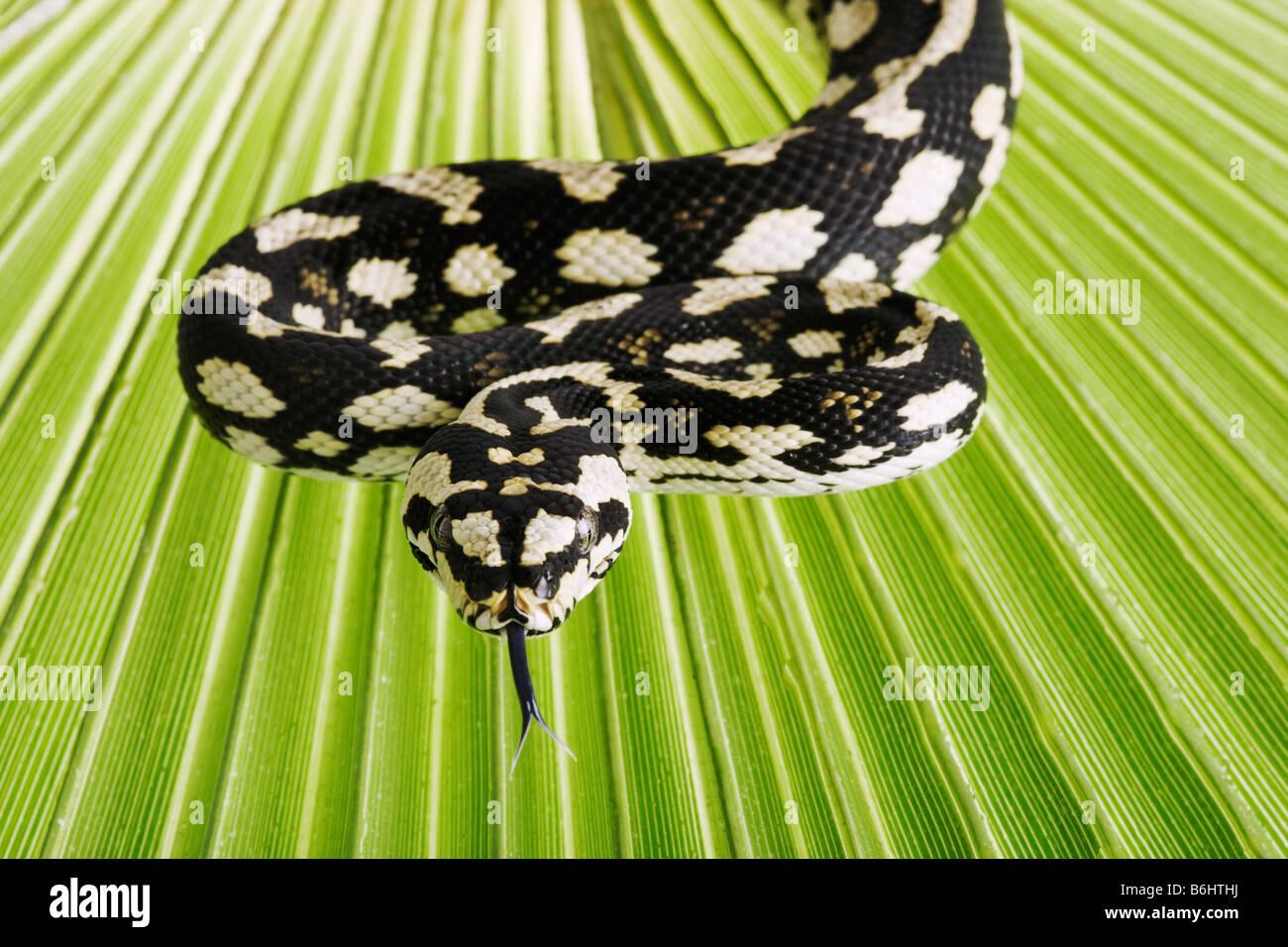 Jungle Carpet Pythons Morelia spilota cheynei python venimeux Non espèces présentes dans les zones humides de l'Australie Banque D'Images