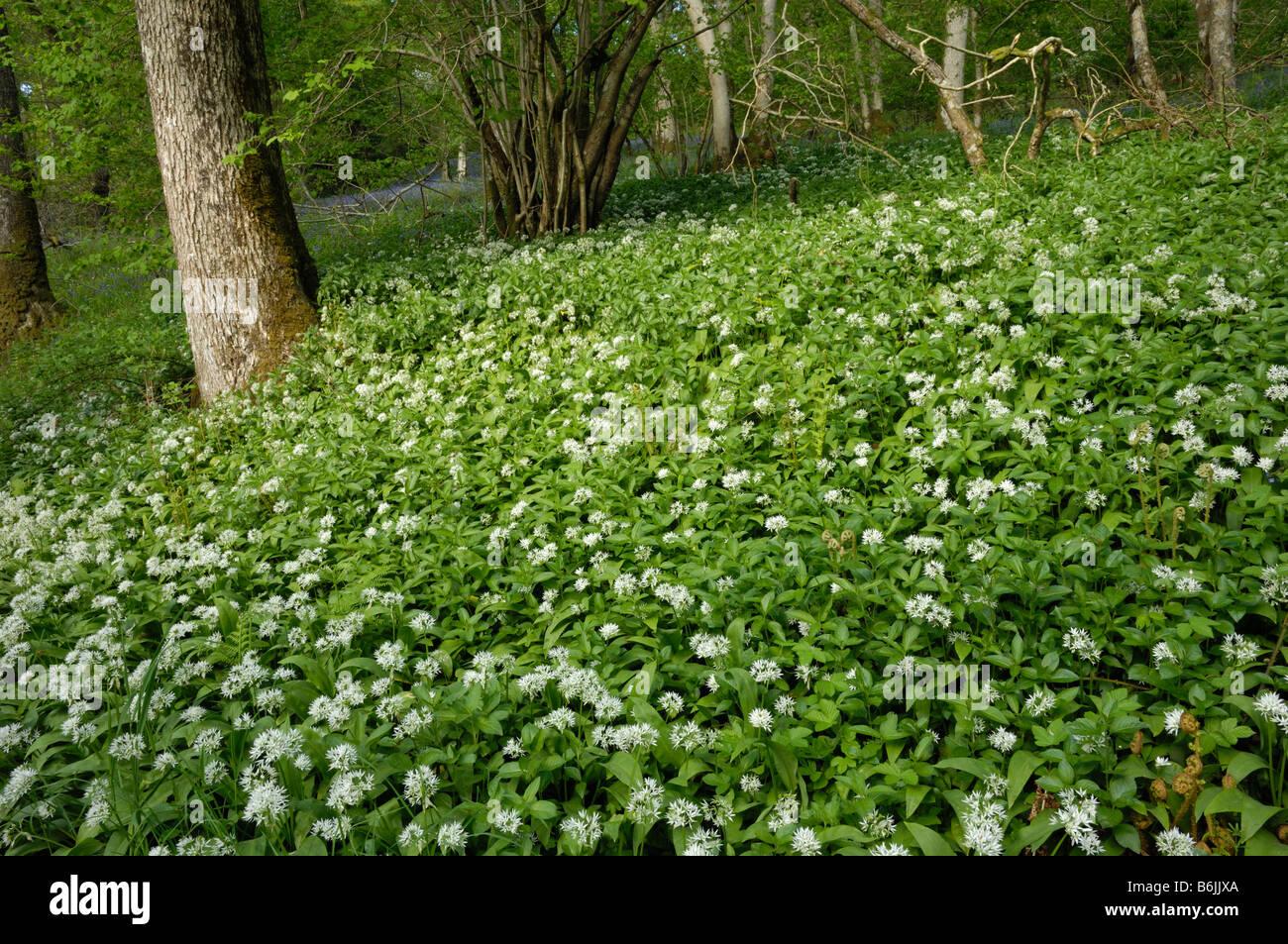 Ramsons ou ail sauvage, Allium ursinum, vallée de la flotte, Dumfries et Galloway, Écosse Banque D'Images